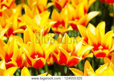 Bright field of star-shaped yellow and orange tulips. ** Note: Visible grain at 100%, best at smaller sizes