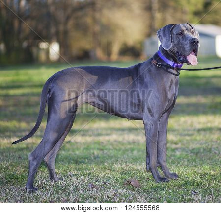 Purebred Great Dane that is a purebred on a grassy field