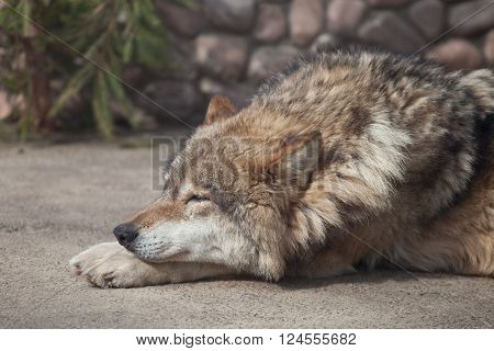 Grey Wolf (Canis lupus) closed eyes on the sun