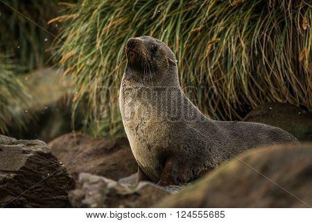 Antarctic fur seal among rocks and grass