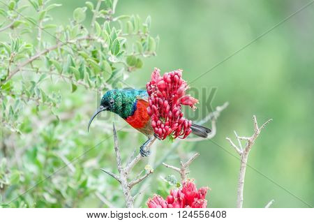 A male greater double-collared sunbird, Cinnyris afer, hiding behind a flower