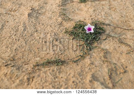 The white-pink morning glory flower with green leaf look like heart on the ground