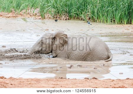 An African elephant calf Loxodonta africana playing in a muddy waterhole