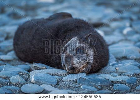 Antarctic fur seal pup on shingle beach
