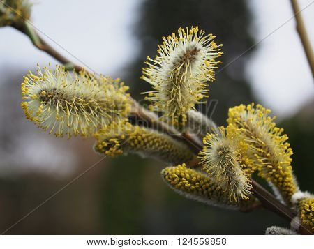 yellow willow flower on a tree background