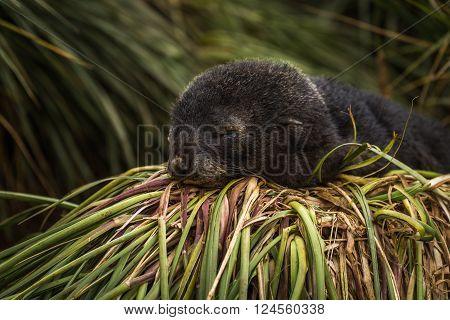 Antarctic fur seal pup sleeping in grass