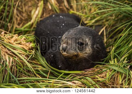 Antarctic fur seal pup with head turned