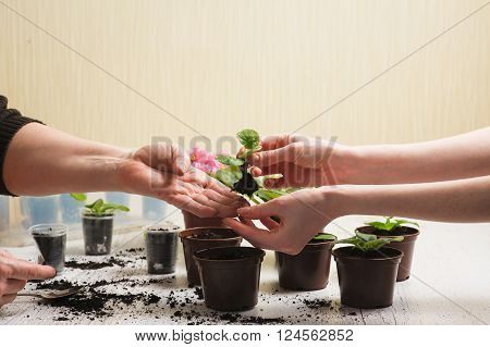 Picture of the old woman's hand and hand of a young girl. Old woman giving a young girl plant that grows in a lump of soil. Planting houseplant indoors. Several brown flowerpot. Earth Day.