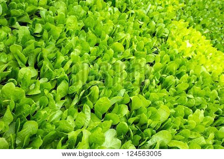Fresh green vegetable plants and leaves background.