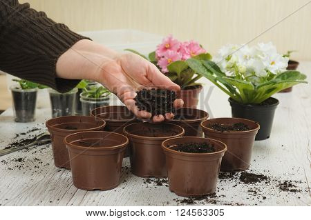 Old woman's hand planting home plants indoors. Hand throws the soil in the pot. Several brown empty flower pot heap of soil light wooden background. Blooming violet. Earth Day.