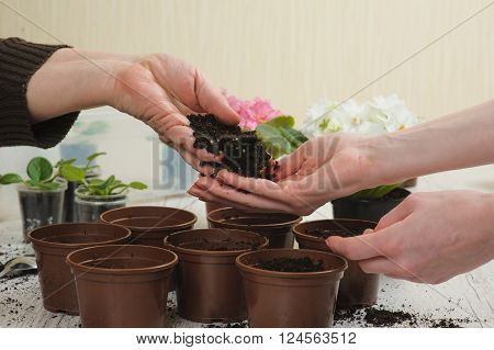 Old woman's hand and hand of young girl. Old woman giving young girl handful of earth. Planting houseplant indoors. Several brown flowerpot heap of soil light wooden background. Blooming violet.