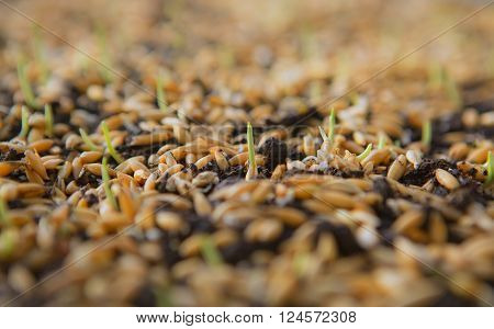 Sowing Wheat Crop. Wheat Green Seeds a Raw Food Diet. Healthy Vegetarian Food concept: Germination of Wheat at home Growing and Agriculture. Spring landing.