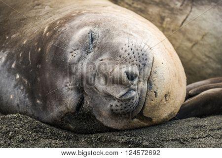 Close-up of elephant seal asleep on beach