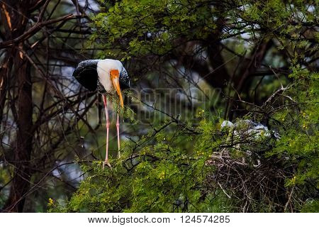 The painted stork is a large wading bird in the stork family. It is found in the wetlands of the plains of tropical Asia south of the Himalayas in the Indian Subcontinent and extending into Southeast Asia