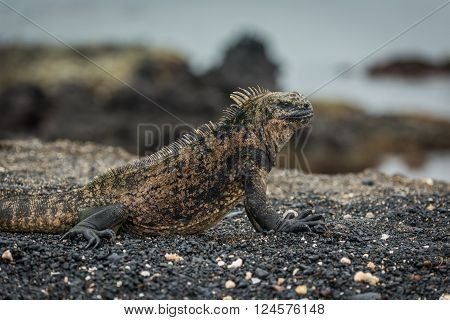 Close-up of marine iguana lying on beach