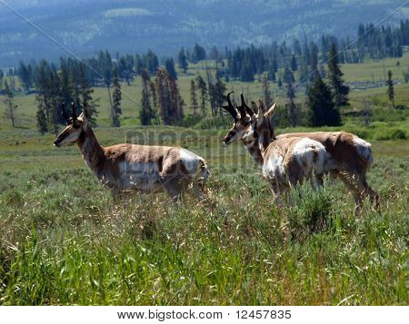 Pronghorns Lounging