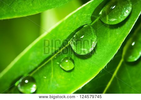 Closeup of lupine leafs and water drops