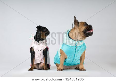 French bulldog and pti brabanson studio portrait in clothes isolated on grey