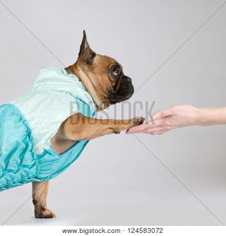 French bulldog studio portrait in clothes giving it's paw