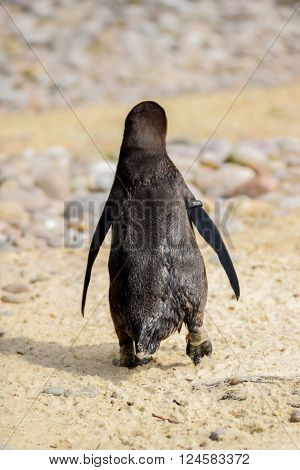 Penguin walking along sand in a zoo