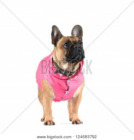 French bulldog studio portrait in clothes isolated on white