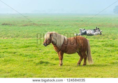 chestnut stallion grazing on green grass farm