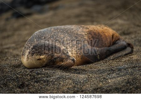 Galapagos sea lion pup sleeping on sand