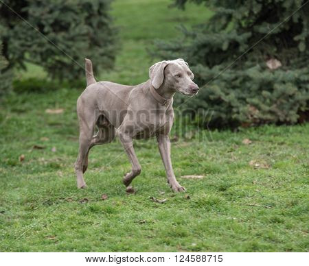 Weimaraner Dog running outside in the park
