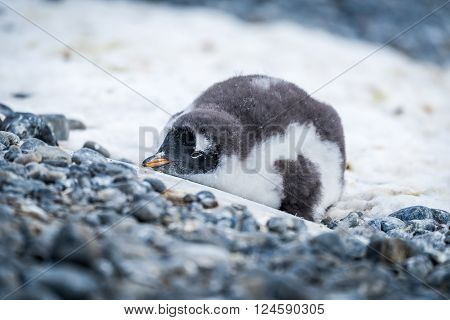 Gentoo penguin chick lying on snowy rocks
