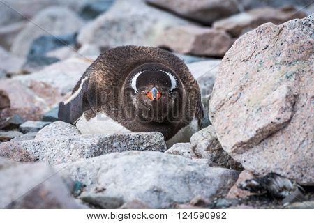 Gentoo penguin on rocks looking at camera