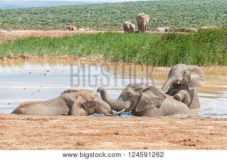 Three young elephants playing in a muddy waterhole