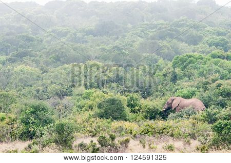 An African elephant Loxodonta africana browsing on shrubs in misty conditions