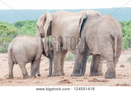 An African elephant calf Loxodonta africana seeking affection from its mother