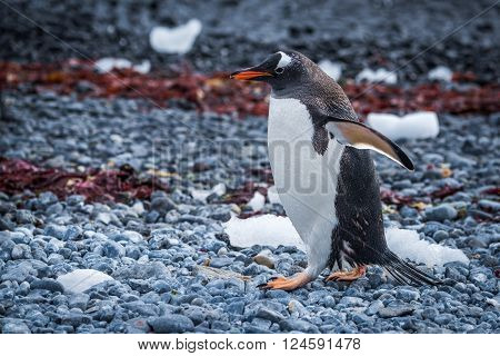 Gentoo penguin waddling along seaweed-strewn shingle beach