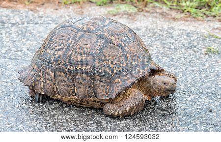 A wet Leopard tortoise Stigmochelys pardalis on a road