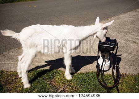Newborn Animal Albino Goat Explores Camera Long Zoom Lens