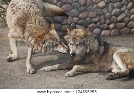 Two Gray Wolves (Canis lupus) playing together