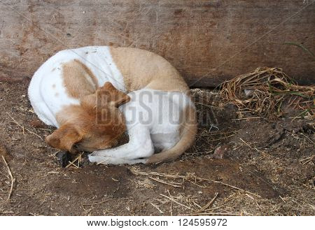 Small brown and white mixed-breed barn dog curled up and sleeping in a stall