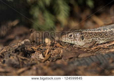 Head Basking Sand Lizard (Lacerta agilis) in the Bark Mulch in the Evening