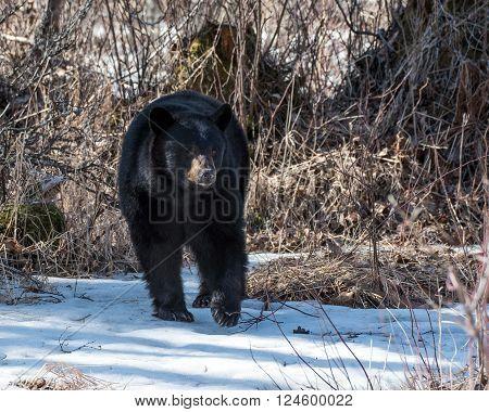 Black bear sow looking for food in Alaska