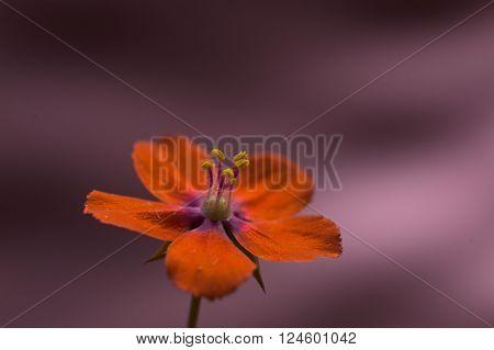 Scarlet pimpernel flower against pink background. Selective focus on stamen.