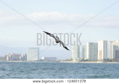 Pelican flying is a pacific coast pelican swooping down towards the water With the cityscape illuminated in the background.