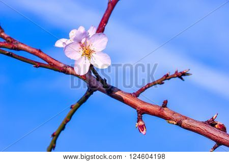 Branch of almond tree with first flowers and turgid buds on background of blue sky. Beginning of blossom.