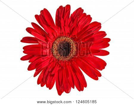 Red gerbera flower isolated over white background.