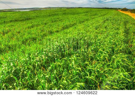 green spikes field under a cloudy sky in Sardinia Italy