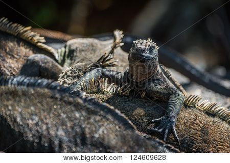 Marine iguana climbing over others in sunlight