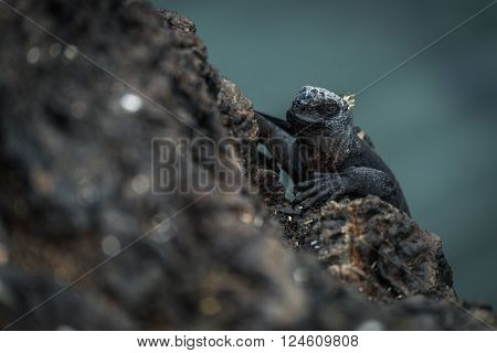 Marine iguana climbing up black volcanic cliff