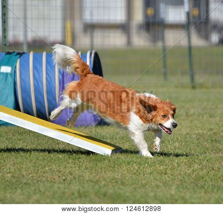 Mixed-Breed Dog Jumping off a Teeter-Totter at a Agility Trial