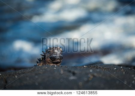 Marine iguana poking its head above rock