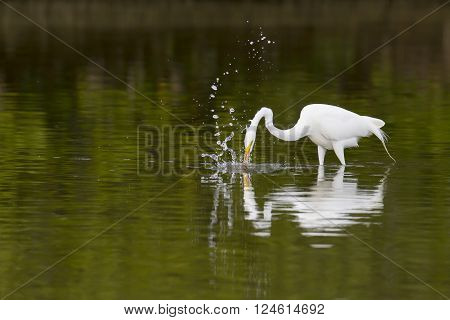 Great Egret plunges after prey in shallow water